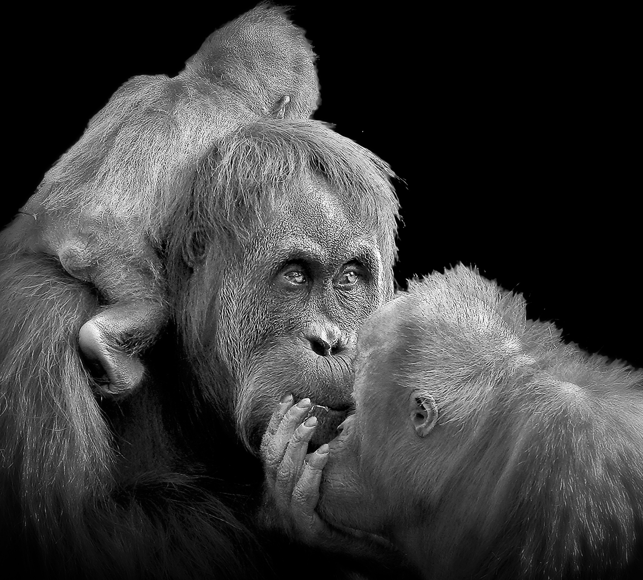 Orangutan mother and kids. By Patrick Bouquet, Chantilly